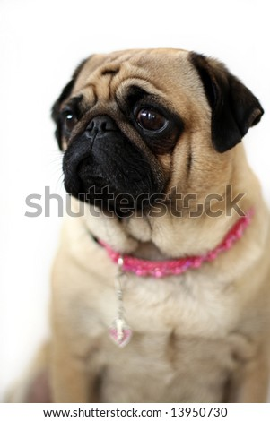 Female Pug with guilty and sad look on her face. - stock photo