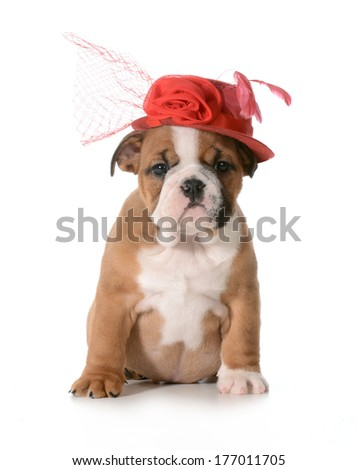 female puppy - english bulldog wearing red hat isolated on white background - 7 weeks old - stock photo