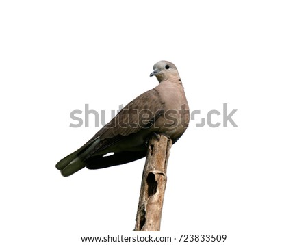 Female Red Collared Dove or Red Turtle Dove (Streptopelia tranquebarica), lovely bird perched on old decay bamboo pole, isolated on a white background.