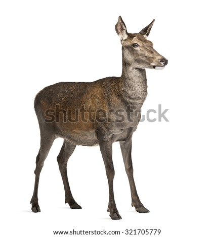 Female red deer in front of a white background - stock photo