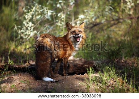 Female Red Fox at her den.