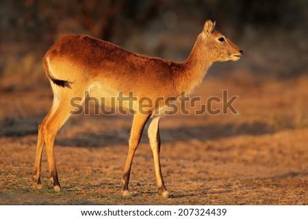 Female red lechwe antelope (Kobus leche), southern Africa  - stock photo