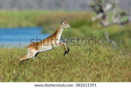 Female Red Lechwe running in Khwai Reserve in Botswana - stock photo