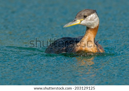 Female Red-necked Grebe swimming in the open water.