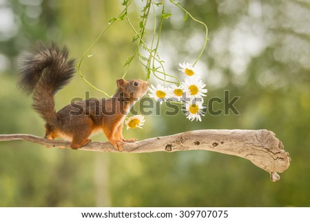 female red squirrel standing on tree branch with flowers - stock photo