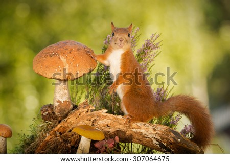 female red squirrel standing with mushrooms on tree trunk   - stock photo