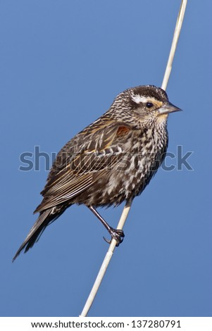 Female Red-winged Blackbird (Agelaius phoeniceus) portrait against a blue background. - stock photo
