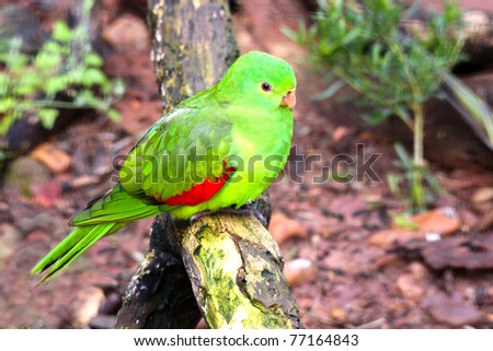 Female Red-Winged Parrot - Aprosmictus erythropterus - Native Australian Bird (Shallow Depth of Field)