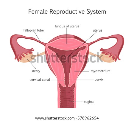 Female Reproductive System Stock Illustration 578962654 Shutterstock