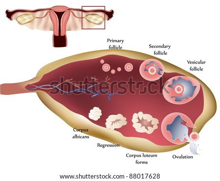 Female reproductive system. Female Ovary. Showing ovulation step by step. - stock photo