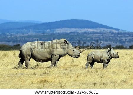 Female Rhino  - stock photo