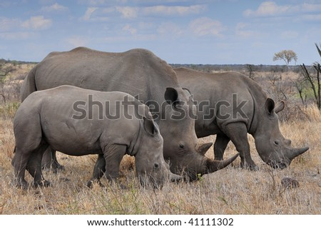 female rhino with 2 calves in Kruger NP,South Africa - stock photo
