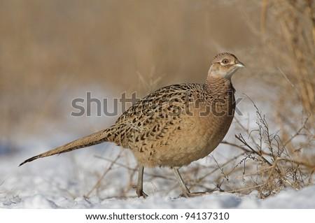 Female Ringneck Pheasant Walking in Winter Prairie Habitat - stock photo