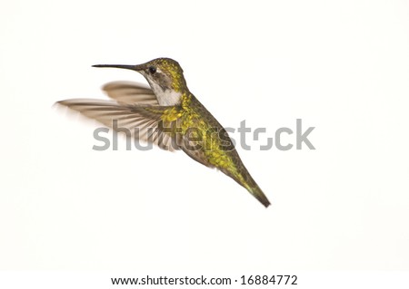 Female Ruby Red Throated Hummingbird against a White Background #2