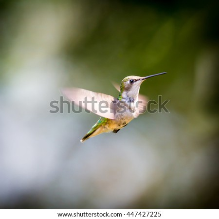 Female Ruby Throated Humming bird in a boreal forest in Northern Quebec after its long migration north. Very small hummingbirds with a lot of fight to do the long trip from the south. - stock photo