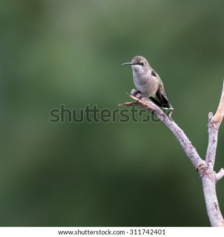 Female Ruby-throated Hummingbird - stock photo