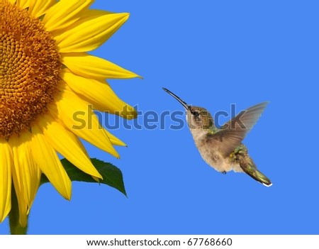 Female Ruby-throated Hummingbird (Archilochus colubris) at a sunflower.