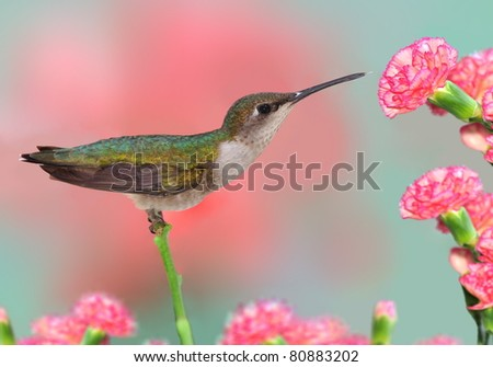 Female Ruby-throated Hummingbird (Archilochus colubris) at carnations. - stock photo