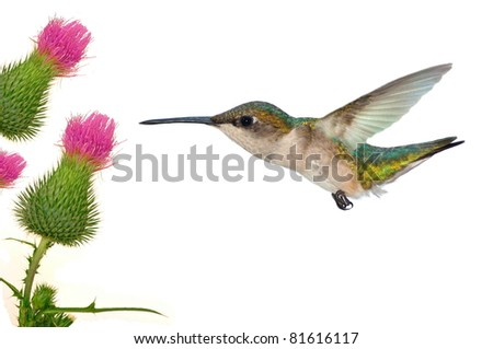 Female Ruby-throated Hummingbird (Archilochus colubris) at field thistles.