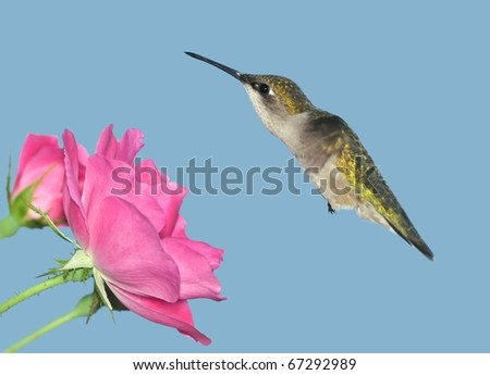 Female Ruby-throated Hummingbird (Archilochus colubris) at pink roses.