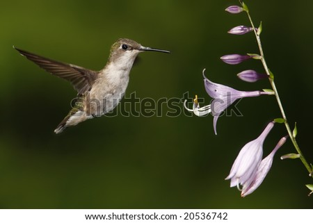 Female ruby-throated hummingbird (Archilochus colubris) hovering over some flowers. - stock photo