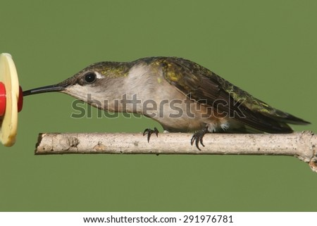 Female Ruby-throated Hummingbird (archilochus colubris) on a perch with a green background - stock photo