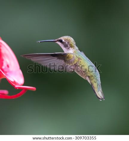 Female Ruby-throated Hummingbird at the Feeder - stock photo