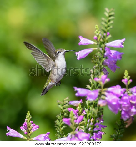 Female Ruby-throated Hummingbird Drinking Nectar from Purple Flower