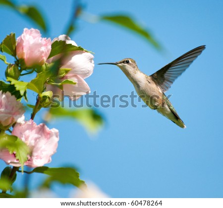 Female Ruby-throated Hummingbird feeding on an Althea flower - stock photo