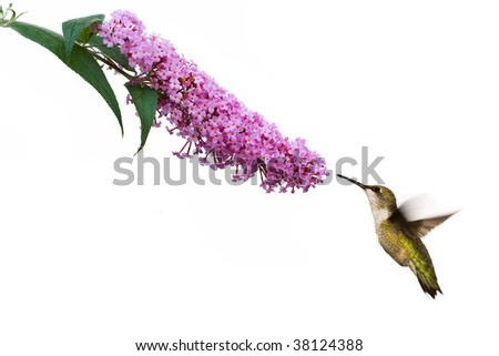 female ruby throated hummingbird hovers near pink butterfly bush - stock photo