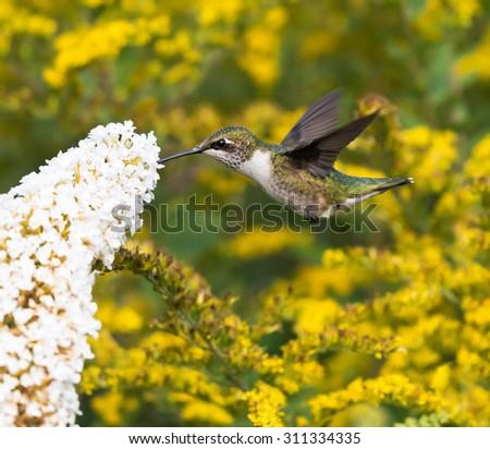 Female Ruby-throated Hummingbird on Yellow Background - stock photo