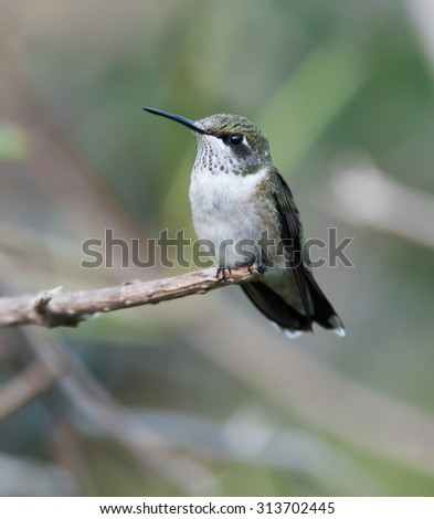 Female Ruby-throated Hummingbird perched on a branch - stock photo