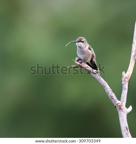 Female Ruby-throated Hummingbird Perched on the Branch with Fully Emerged Tongue - stock photo
