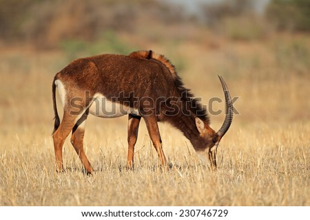 Female sable antelope (Hippotragus niger), South Africa - stock photo