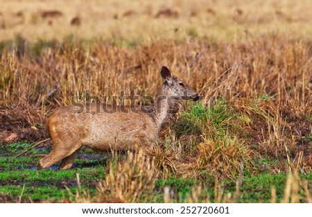 """philippine Deer"" Stock Photos, Royalty-Free Images ..."