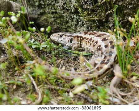 Female sand lizard, Lacerta agilis - stock photo