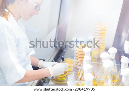 Female scientist researching in laboratory, pipetting cell culture samples on LB agar medium in laminar flow. Life science professional grafting bacteria in Erlenmeyer flask. - stock photo