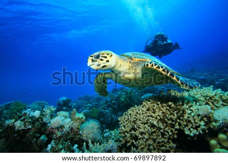Female Scuba Diver takes a photograph of a Hawksbill Sea Turtle swimming over a coral reef - stock photo