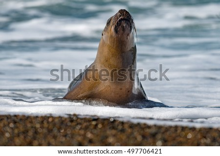 female sea lion seal on Patagonia beach while looking at you