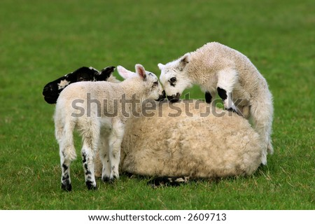Female sheep sitting in a field in spring with her new born twin lambs climbing over her. - stock photo
