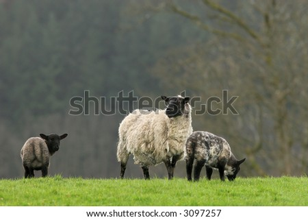 Female sheep with her two black and grey lambs standing together in a field in spring. - stock photo