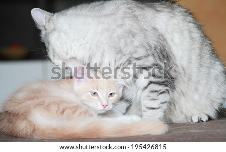 female silver cat and male cream puppy of siberian breed
