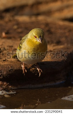 Female Southern Masked-weaver; Ploceus velatus; South Africa