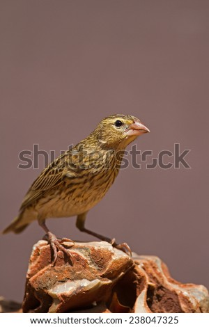 Female Southern Red Bishop perched on rock; Euplectes orix - stock photo
