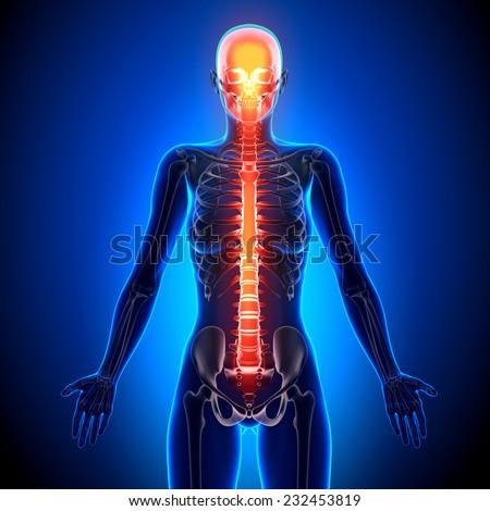 Female Spine - Anatomy Bones - stock photo