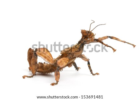 Female spiny leaf insect (extatosoma tiaratum), on a white background. Focus is on the head. - stock photo
