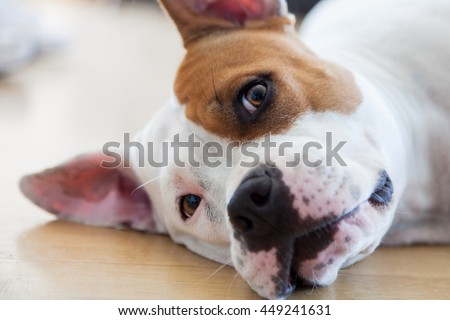 Female Stafford Dog at home  - stock photo