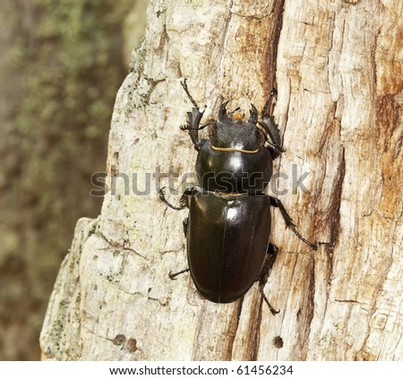 Female stag beetle climbing oak. Macro photo.