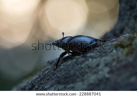 Female Stag beetle, Lucanus cervus in twilight