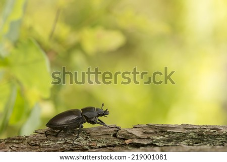 Female stag beetle, Lucanus cervus on wood - stock photo